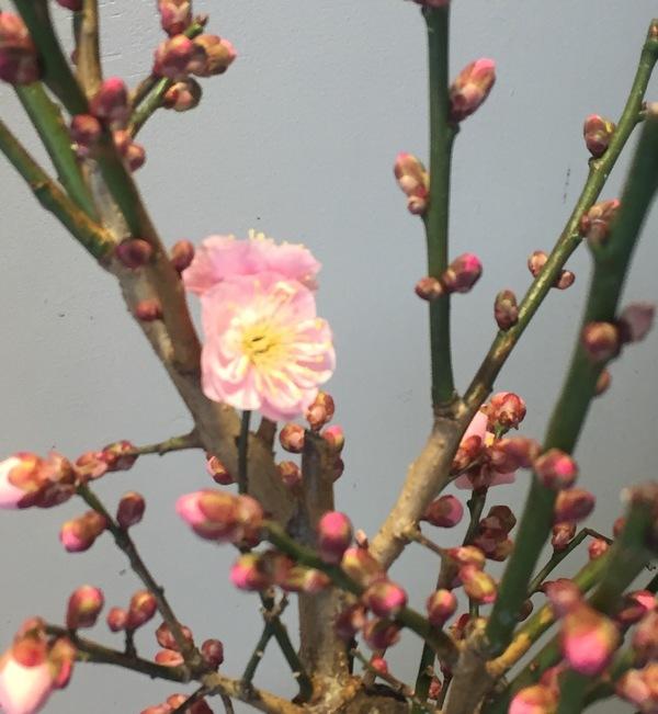 梅の花が咲き始めました🌸🌸🌸
